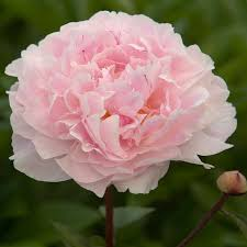 peonies for sale grow top quality peonies bare root peonies