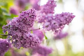 lilac flowers how to care for lilacs hunker
