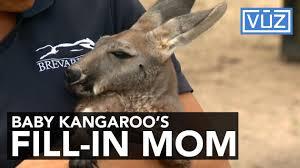 kangaroo 1498767665 jpg