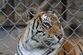 exotic animals wisconsin one of five states where u0027dangerous u0027 exotic animals can