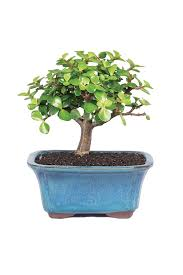 bonsai meaning in tamil best bonsai 2018