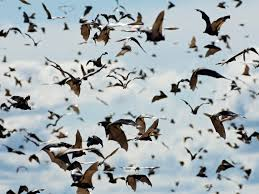 bat african wildlife foundation