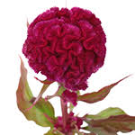 coxcomb flower burgundy berry celosia brain flowers
