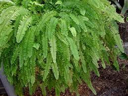 week 4 hort i house plants maranta leuconeura var kerchoviana