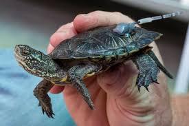 with a u201cheadstart u201d local turtles make a comeback