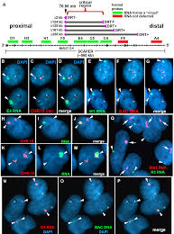 asar15 a cis acting locus that controls chromosome wide