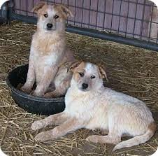 australian shepherd australian cattle dog mix beautiful great pyrenees mixes adopted puppy texico il
