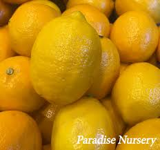 When Does A Lemon Tree Produce Fruit - persian sweet lemon from paradise nursery in los angeles
