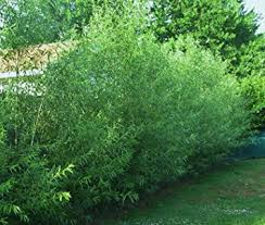 16 hybrid willow trees austree grows 12 foot 1st