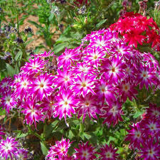 phlox flower 100 pcs bag phlox plants phlox seeds phlox flowers bonsai flower