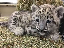 snow leopard cub dies from pneumonia at toronto zoo thespec
