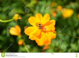 blooming flower with bee searching honeydew stock photo image