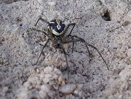black widow spider pictures blog title