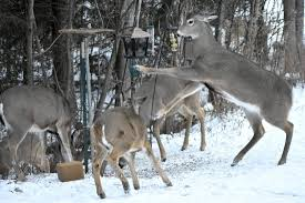 winter habitat crucial to healthy and stable up deer population