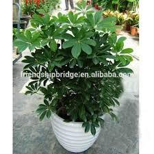 evergreen foliage outdoor landscaping decorative ornamental plants