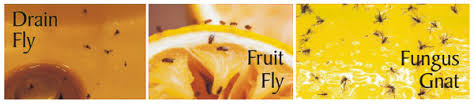 fruit flies in sink fungus gnats fruit flies and drain flies what is the difference