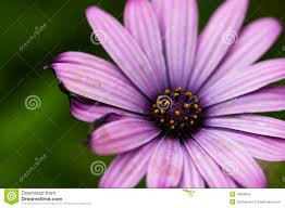 bright purple daisy flower royalty free stock photo image 16928855