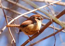South Carolina birds images South carolina state bird carolina wren jpg