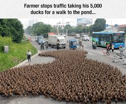 Traffic Meme - the cutest traffic jam i can has cheezburger funny animal
