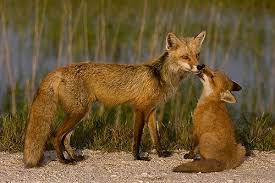 sleeping red fox wallpapers fox images mom and baby fox wallpaper and background photos 24577255