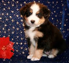 australian shepherd price best 25 aussie puppies for sale ideas on pinterest mini aussie
