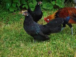 rosecomb backyard chickens