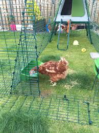 should i keep chickens chickens guide omlet uk