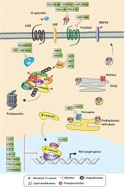 targeting wnt signaling in colorectal cancer a review in the