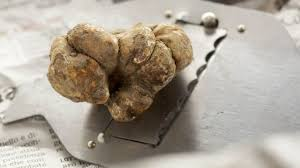 italian white truffle italian white truffle prices after a start to season