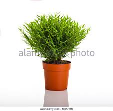 potted bamboo ornamental bamboo stock photos potted bamboo