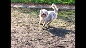 belgian sheepdog golden retriever mix bearded collie golden retriever mix youtube