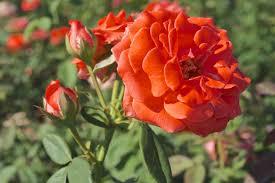 cl america climbing rose