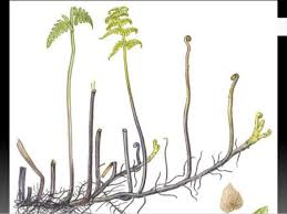 Vegetative Propagation By Roots - spore and cone bearing plants vegetative propagation