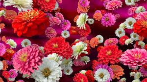 Zinnias Flowers Colorful Zinnias Floral Background For Videos Youtube