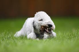 bedlington terrier shaved bedlington terrier wallpapers hd download