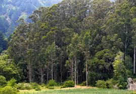 eucalyptus globulus plantright