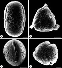 native plants of the northeast sem micrographs of main pollen types from native plants collected