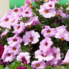 17 best supercal images on pinterest geraniums petunias and