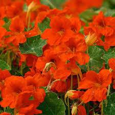 nasturtium flowers nasturtium seeds 12 nasturtiums showy annual flower seeds