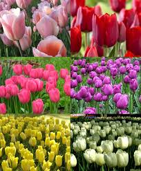 collection c triumph tulips discounted collections flower