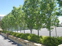 ornamental pear tree landsdale plants trees pear