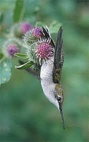 Hummingbird On A Flower - hummingbirds predators 1