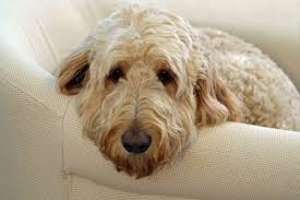 american eskimo dog poodle mix poodle mix breeds pet care facts