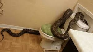 Snake Bathtub The Stuff Of Nightmares Woman Finds 12 Foot Python In Bathroom
