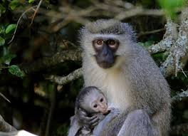 vervet monkey facts history useful information and amazing pictures