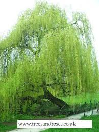 weeping willow trees ebay