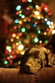 dog christmas ce chien aime rester à côté du sapin christmas