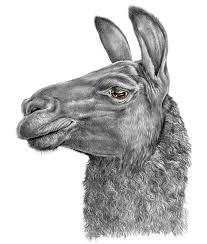 7 best llamas images on pinterest drawings of llama drawing and