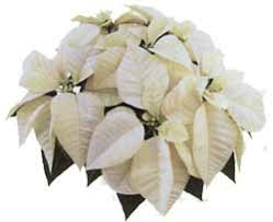 white poinsettia poinsettia white