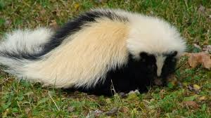 skunk pictures kids search
